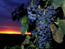 Grape-Sunset-2-2